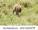the spotted hyena  crocuta... | Shutterstock . vector #1011183478