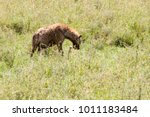 the spotted hyena  crocuta... | Shutterstock . vector #1011183484