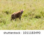 the spotted hyena  crocuta... | Shutterstock . vector #1011183490
