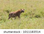 the spotted hyena  crocuta... | Shutterstock . vector #1011183514