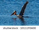 Small photo of Brown Pelican lift off