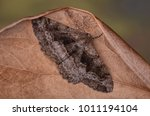 Small photo of Mottled Beauty moth ( Alcis repandata ) in the family Geometridae. Sitting on a leaf with a blurred background.