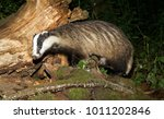 badger  wild  native  european... | Shutterstock . vector #1011202846