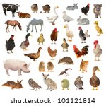 Livestock On A White Backgroun...