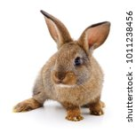 Stock photo small brown rabbit isolated on white background 1011238456