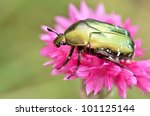 Macro Green Cetonia Aurata On...
