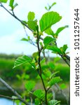 Small photo of branch of young leaves of alder in the spring