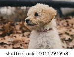 puppy on the day she was picked ... | Shutterstock . vector #1011291958