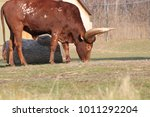 Small photo of Long horned Ankole cow grazing some of the best horns in the animal kingdom