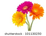Gerber Daisy Isolated On White...