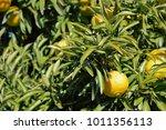 citrus tree image | Shutterstock . vector #1011356113