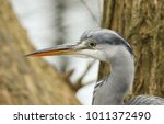 a head shot of a stunning grey... | Shutterstock . vector #1011372490