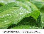 green leaves with water drops | Shutterstock . vector #1011382918