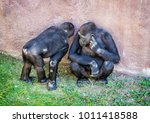 young western lowland gorilla   ... | Shutterstock . vector #1011418588