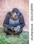 western lowland gorilla  ... | Shutterstock . vector #1011418594