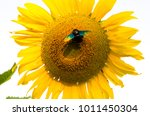 a sunflower and a bug | Shutterstock . vector #1011450304