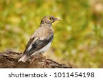 bird wattled starling ... | Shutterstock . vector #1011454198