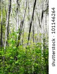 Spring fresh forest with birch trees - everything is Black&WHite except for the green. - stock photo