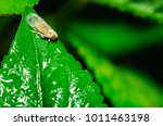 Small photo of Leafhopper on leaf ,Empoasca sp.