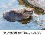 adult beaver swimming in a lake ... | Shutterstock . vector #1011465790