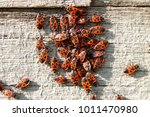 red soldier bug with black dots ... | Shutterstock . vector #1011470980