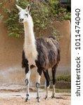 Beautiful Lama Animal In Zoo ...
