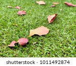 the brown leafs on the green... | Shutterstock . vector #1011492874