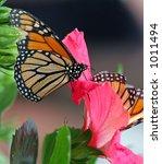Two Monarch Butterflies On A...