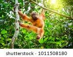 Cute Baby Orangutan Hanging On...