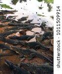 Small photo of Lots of crocodiles lying in the water. Crocodile farm. Cuba