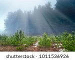 Young Pine Tree Seedling In The ...