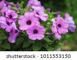 violet petunia flowers | Shutterstock . vector #1011553150