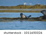 cute harbor seal pup on a bed... | Shutterstock . vector #1011650326