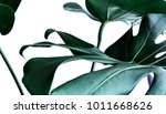real monstera leaves decorating ... | Shutterstock . vector #1011668626