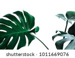 real monstera leaves decorating ... | Shutterstock . vector #1011669076