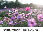 field of cosmos flower | Shutterstock . vector #1011699703