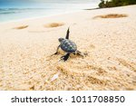 Small photo of Just born turtles instinctively go towards the sea to find a safe place that allows them to survive