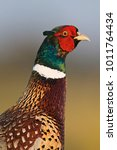 Small photo of Common or Ring-necked Pheasant (Phasianus colchicus)