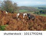 wild ponies nuzzling each other ... | Shutterstock . vector #1011793246