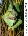 chameleon from yemen called... | Shutterstock . vector #1011842554