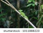 male plumed basilisk ... | Shutterstock . vector #1011888223