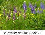 flowers lupine and buttercups... | Shutterstock . vector #1011895420