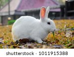 Stock photo rabbits eat grass shoots in the morning 1011915388