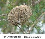 Small photo of Freshwater sponges, known as cauixi ou cauxi (Porifera, Demospongiae) Amazonas, Brazil