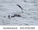 seagull flying over the suez... | Shutterstock . vector #1011932260
