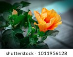 bright yellow flower of... | Shutterstock . vector #1011956128