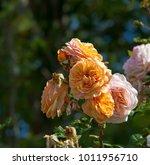 beautiful yellow tinged pink ...   Shutterstock . vector #1011956710