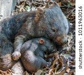 female wombat with her joey ... | Shutterstock . vector #1011963016