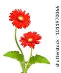 beautiful gerbera flowers... | Shutterstock . vector #1011970066