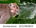 monkey is shocked and surprised.... | Shutterstock . vector #1011983824